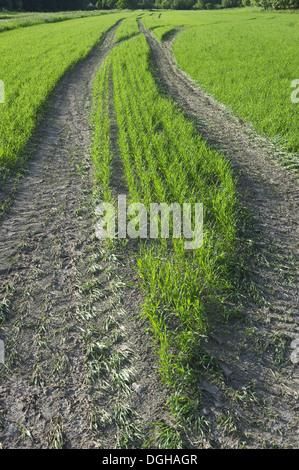 Tramlines in arable field with seedling crop, Sweden, june - Stock Photo