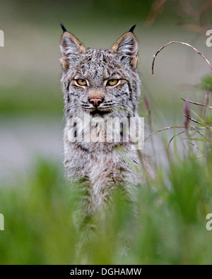 A lone Canadian lynx in Denali National Park, Alaska - Stock Photo