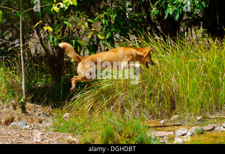 Wild dingo in outback Australia jumps while hunting prey - Stock Photo