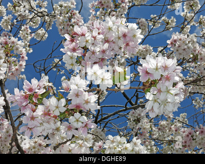 Signs of spring New creme white apple / cherry Blossom flowers against a deep blue sky England - Stock Photo