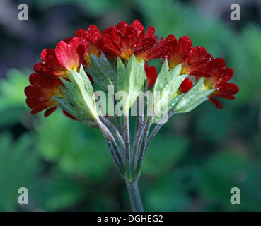 Red wildflower, Cheshire, North West England, UK - Stock Photo