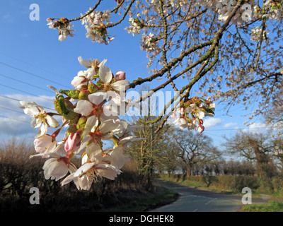 White beautiful English flowers and blossoms of spring UK - Stock Photo