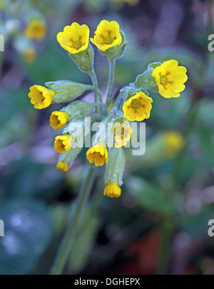 Yellow Spring flowers of Primula Veris in a wood, Cheshire, England, UK - Stock Photo