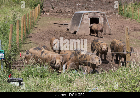 Domestic Pig, Oxford Sandy and Black, weaners in paddock with ark and electric fence, Cumbria, England, July - Stock Photo