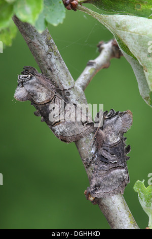 Spectacle (Abrostola tripartita) two adults, camouflaged on twig, Sheffield, South Yorkshire, England, May - Stock Photo