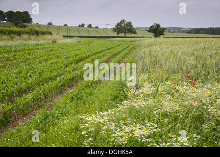 Maize (Zea mays) crop, growing in field margin at edge of Barley (Hordeum vulgare) crop, Herefordshire, England, - Stock Photo