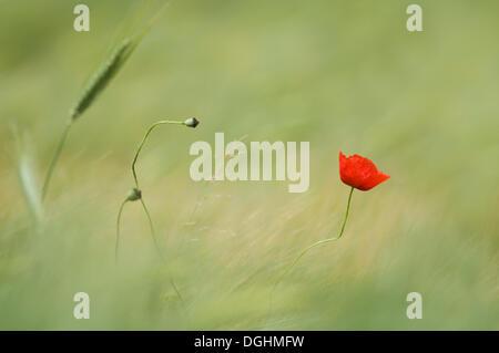 Single poppy flower (Papaver sp) in a barley field - Stock Photo