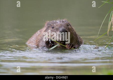 European Beaver (Castor fiber) gnawing on a willow branch, Tyrolean Unterland, Tyrol, Austria - Stock Photo