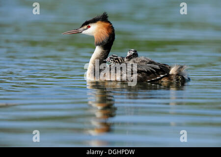 Great Crested Grebe (Podiceps cristatus), adult, on water with young birds in plumage, Thuringia, Germany - Stock Photo