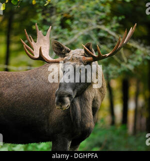 European Elk (Alces alces), bull moose, captive, Bavaria, Germany - Stock Photo