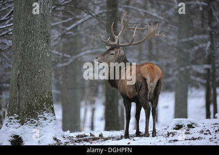 Red deer (Cervus elaphus), stag with winter coat in the snow, captive, Bavaria, Germany - Stock Photo