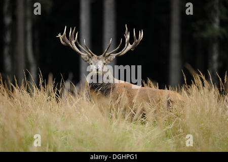 Red deer (Cervus elaphus), stag, captive, Lower Saxony, Germany - Stock Photo