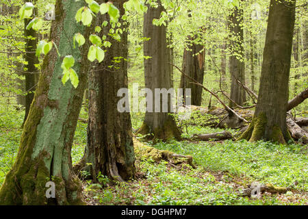 Beech forest (Fagus sylvatica) in spring, Hainich National Park, Thuringia, Germany - Stock Photo