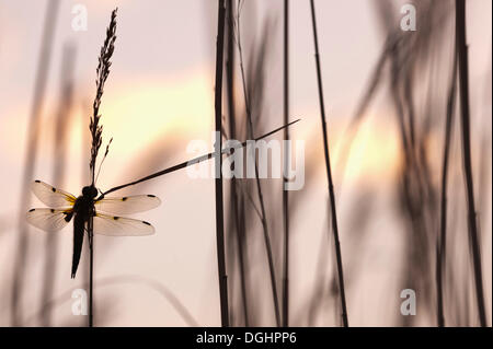 Four-spotted chaser, Four-spotted skimmer (Libellula quadrimaculata) perched on reed, early morning, Illmitz, Lake - Stock Photo