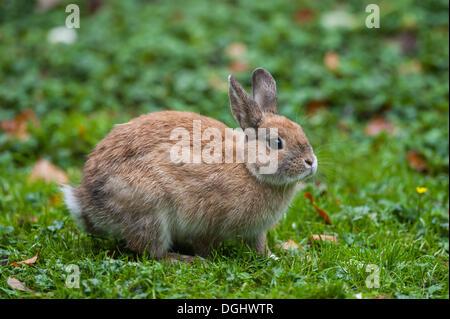 Domestic Rabbit (Oryctolagus cuniculus f. domestica), Hamburg - Stock Photo