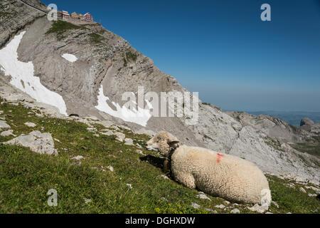 Sheep in the Alps, on Saentis Mountain, Urnäsch, Canton of Appenzell Ausserrhoden, Switzerland - Stock Photo