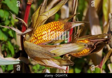 Maiskolben - corn 01 - Stock Photo