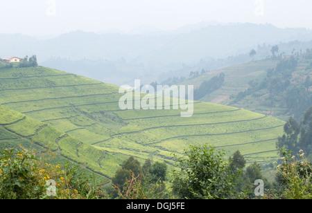 Tea plantations in Central Rwanda between Kigali and Ruhengiri near the Virunga Mountains The land of 1000 Hills - Stock Photo