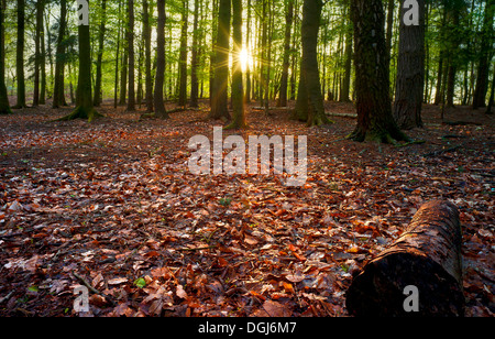 Dawn sunlight brings the woods alive at Beacon Hill in Leicestershire. - Stock Photo