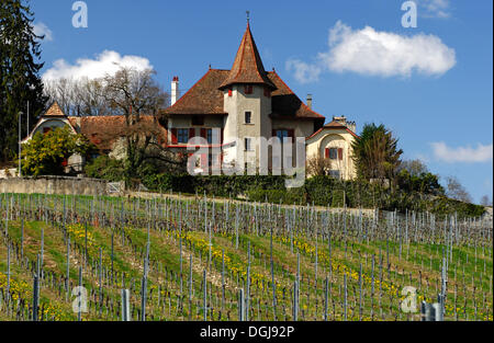 Vineyard with vines for Chasselas grapes at the foot of the Jura mountains in the spring, Begnins, Vaud, Switzerland, - Stock Photo