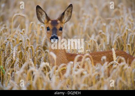 A roe deer hiding in a wheat field. - Stock Photo