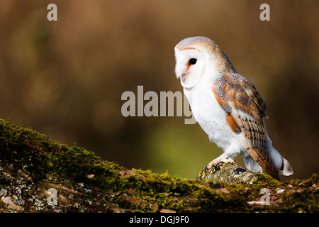 A barn owl perched majestically and silently. - Stock Photo