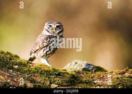 A little owl perched on a mossy bough. - Stock Photo