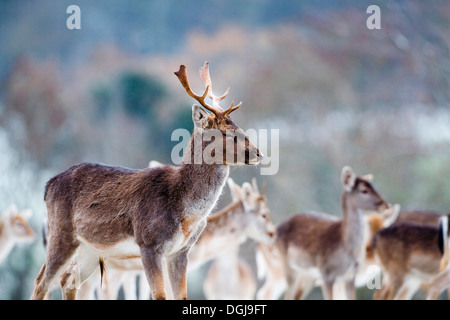 A herd of fallow deer in the Somerset countryside. - Stock Photo