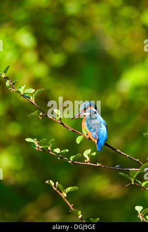 A colourful kingfisher perched on a branch. - Stock Photo