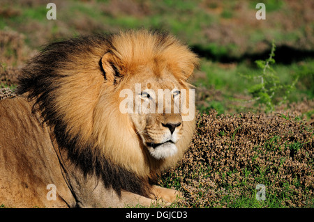 A male Kalahari lion, panthera leo, in the Kuzuko contractual area of the Addo Elephant National Park in South Africa - Stock Photo