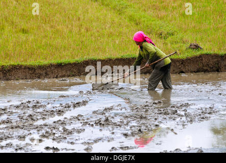 Woman working in a rice paddy, Vietnam, Asia - Stock Photo
