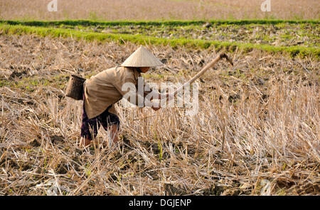 Working woman in a rice field, Mai Chau, a village where ethnic minorities live, Vietnam, Southeast Asia - Stock Photo