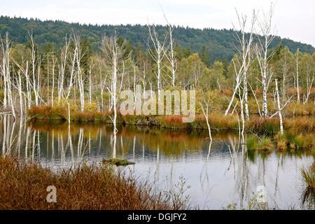 Moor after renaturation, restoration of waterlogging, Egling, Bavaria - Stock Photo