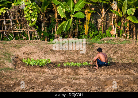 A Thai male planting crops on the banks of the Chayo Praya River. - Stock Photo