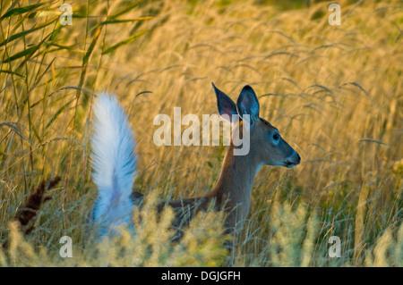 White-tailed Deer (Odocoileus virginianus) - Stock Photo