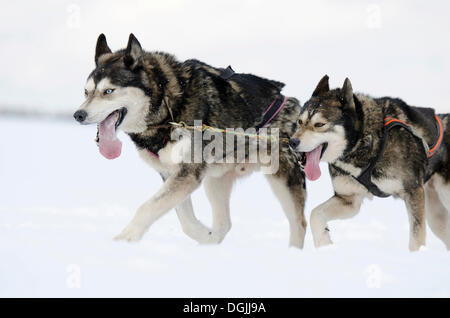 Two sled dogs, Siberian Huskies, lead dogs of a sled dog team, Harz, Clausthal-Zellerfeld, Lower Saxony, Germany - Stock Photo