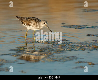 Common Greenshank (Tringa nebularia), Lesbos, Greece, Europe - Stock Photo