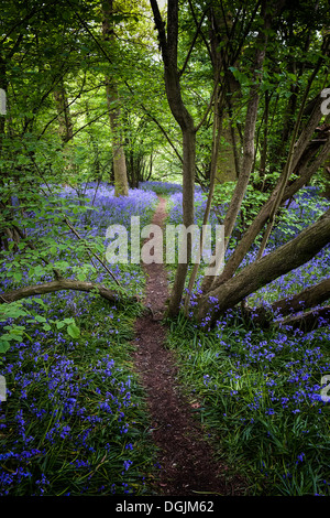 A track running through bluebells in woodland. - Stock Photo
