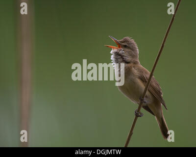 Great Reed Warbler (Acrocephalus arundinaceus), Eifel, Wittlich, Rhineland-Palatinate, Germany - Stock Photo