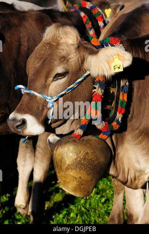 Cows on pasture, return of livestock from high alpine summer pastures, Pfronten, Ostallgaeu district, Allgaeu, Bavaria - Stock Photo