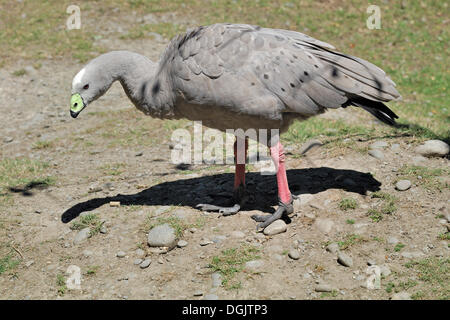Cape Barren Goose (Cereopsis novaehollandiae), Willowbank Wildlife Reserve, Christchurch, South Island, New Zealand - Stock Photo