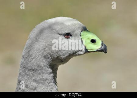 Cape Barren Goose (Cereopsis novaehollandiae), portrait, Willowbank Wildlife Reserve, Christchurch, South Island, - Stock Photo