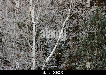 Birches and spruces with a dusting of snow in late autumn Greater Sudbury Ontario Canada - Stock Photo