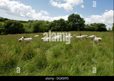 A mixed flock of ewe sheep in a meadow of long grass on a fine summer day in Devon - Stock Photo