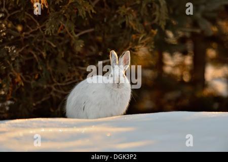 Varying/snowshoe hare Lepus americanus Late winter near a cedar hedge Greater Ontario Canada - Stock Photo