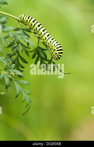 Swallowtail butterfly caterpillar on milk parsley Norfolk Broads, England. - Stock Photo