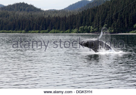 Humpback whale breaching off Icy Straits Point in Alaska. - Stock Photo