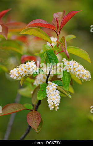 Chokecherry (Prunus virginiana) Flower spikes Greater Sudbury, Ontario, Canada - Stock Photo