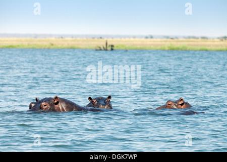 Hippos ( Hippopotamus amphibius ) swimming in the Chobe River, Chobe national Park, Botswana, Africa - Stock Photo