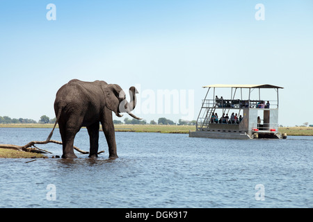 African elephant ( Loxodonta Africana ) trumpeting at tourists on a Chobe river cruise, Chobe National Park, Botswana, - Stock Photo